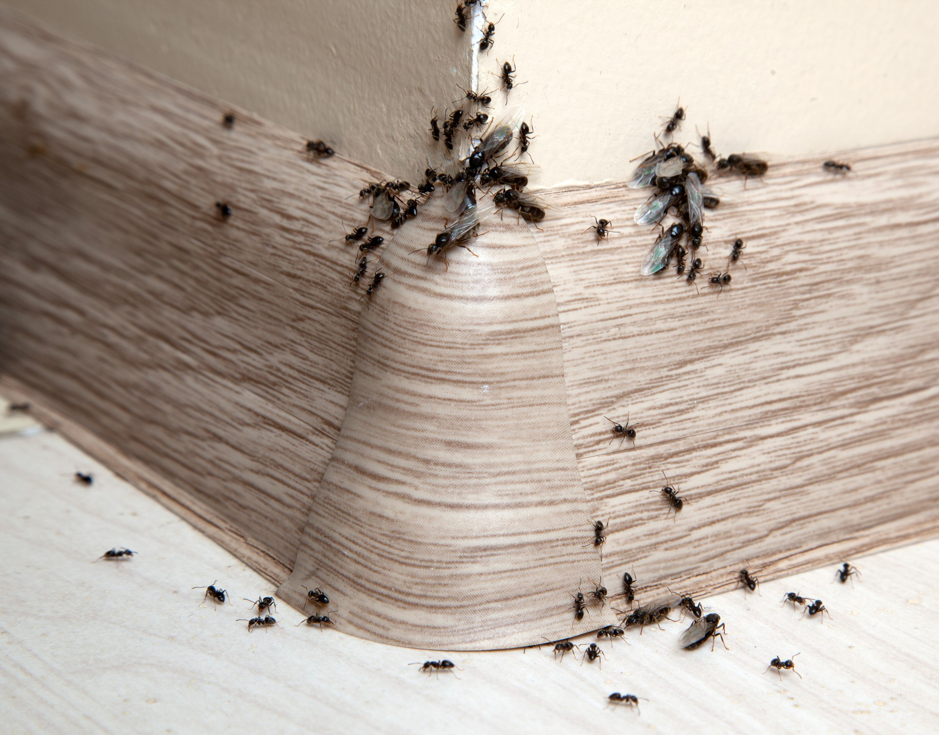 Ant Infestation, Pest Control in London. Call Now 020 3519 0469