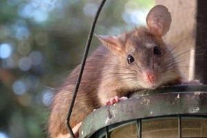 Rat Infestation, Pest Control in London. Call Now 020 3519 0469
