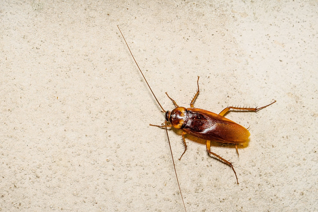 Cockroach Control, Pest Control in London. Call Now 020 3519 0469