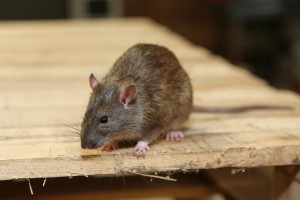 Rodent Control, Pest Control in London. Call Now 020 3519 0469