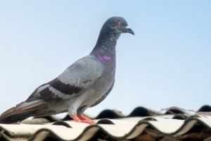 Pigeon Pest, Pest Control in London. Call Now 020 3519 0469