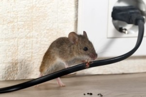 Mice Control, Pest Control in London. Call Now 020 3519 0469